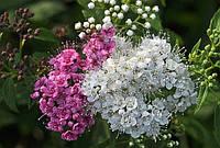 """Спирея японская Широбана (3-х цветня) """"Spiraea japonica Shirobana""""  контейнер 2,5 л."""