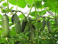 Самоопыляемый гибрид огурца с высокой отдачей раннего урожая  для теплиц и открытого грунта сорт Кибрия F1