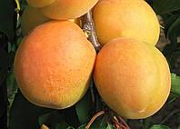 Саженцы абрикоса Сандроп