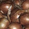 Лук- севок озимый Шекспир 10 кг TOP Onion
