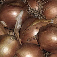 Лук- севок озимый Шекспир 0,5 кг TOP Onion