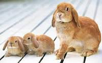Лечение мастита у кролика