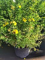 """Лапчатка кустарниковая """"Кобольд"""" (Potentilla Fruticosa Kobold) контейнер 2,5 л."""