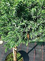 Можжевельник чешуйчатый (Juniperus squamata 'Blue Star')