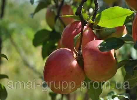 Как вырастить яблоню: правила и советы