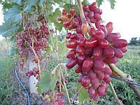 Виноград АРОЧНЫЙ столовый, розовый, ранний, устойчивый, ЧЕРЕНКИ