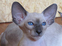 Кошки королевства Сиама