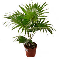 Ливистона пальма