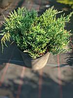 Можжевельник горизонтальный Блю Чип(Juniperus horizontalis Blue Chip), контейнер С5
