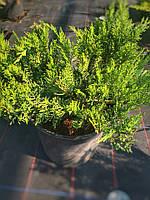 Можжевельник казацкий Тамарисцифолия(Juniperus Sabina Tamariscifolia) Ø30+см, контейнер С5