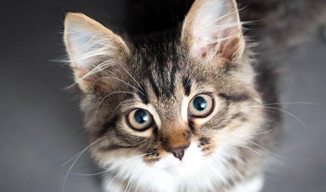 Лечебный корм для кошек страдающих диабетом Royal Canin Diabetic DS46