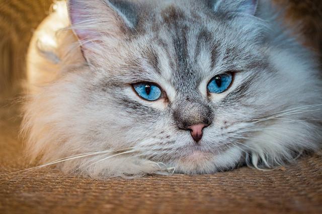 Лечебный корм для кошек при пищевой аллергии Royal Canin Sensitivity Control