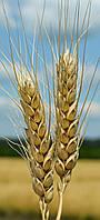 Пшеница озимая (мягкая) Зыск