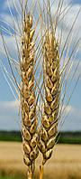 Пшеница озимая (мягкая) Эпоха Одесская (элита)
