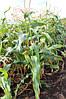 Кукурудза цукрова Оверленд F1 1 кг.