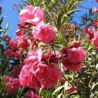 Эфирное масло Розового дерева, 500 мл