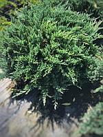 "Можжевельник горизонтальный Блю Чип ""Blue Chip"" / Juniperus horizontais ""Blue Chip"", С25"