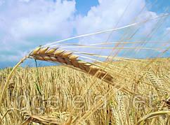 Пшеница и ячмень - зерно.