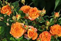 Роза бордюрная Бейби романик