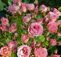 Роза бордюрная  Лидия