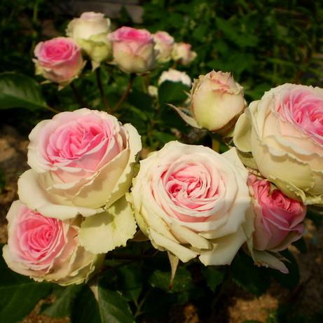 Роза бордюрная Мини Эден
