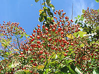 "Семена паркового  многоцветкового шиповника ,,Rosa multiflora"""