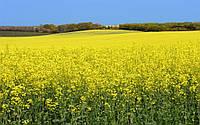 Защита посевов рапса от вредителей
