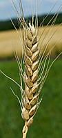 Пшеница озимая (мягкая) Бунчук (элита/1 репродукция)