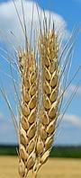 Пшеница озимая (мягкая) Вдала