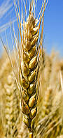 Пшеница озимая (мягкая) Миссия Одесская