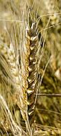 Пшеница озимая (мягкая) Одесская 267 (1 репродукция)