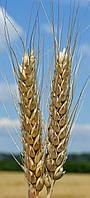 Пшеница озимая (мягкая) Пилиповка (элита)