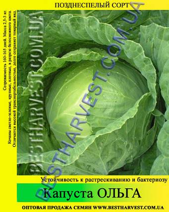 Семена капусты Ольга 0,5кг, белокочанная, фото 2