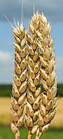 Пшеница озимая (мягкая, безостая) Богдана (элита)