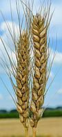 Пшеница озимая (мягкая) Шестопаловка (1 репродукция)
