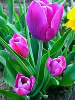 Тюльпан Purple Bouquet (Пурпурный Букет) 10/11