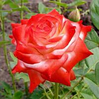 Императрица Фарах роза
