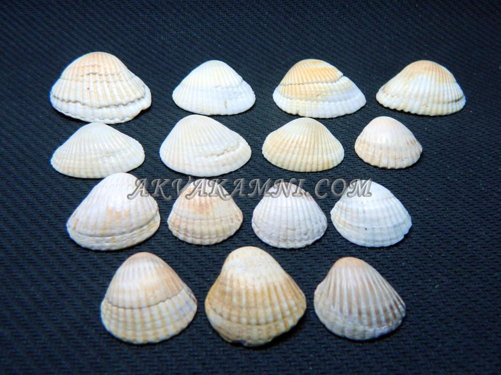Морские ракушки 15шт
