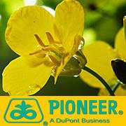 Семена рапса Pioneer