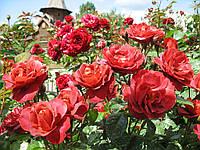 Хот-какао (Hot Cocoa) роза