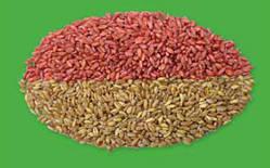 Протравливание семян озимой пшеницы - важнейший агроприем.