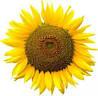 Семена подсолнечника Пионер ПР64А15, фото 2