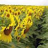 Семена подсолнечника Пионер ПР64А15, фото 4