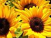 Семена подсолнечника Пионер ПР63А90, фото 2