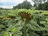 Семена подсолнечника Пионер ПР63А90, фото 4