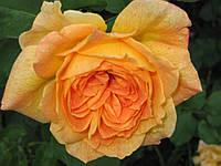 Жан Жионо роза