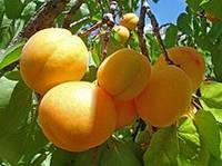 Масло абрикосовой косточки, 1 литр