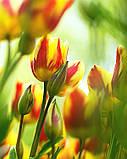 Тюльпан Colour Spectacle (Колор Спектакль) 10/11, фото 3