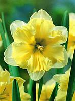 Нарцисс разрезнокорончатый Delta 2 луковицы