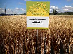 Семена озимой пшеницы Антара (1 репродукция)